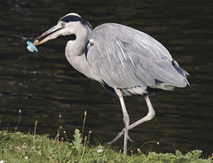 animal, wing, fauna, little blue heron, heron, pelecaniformes, beak, bird, wildlife,