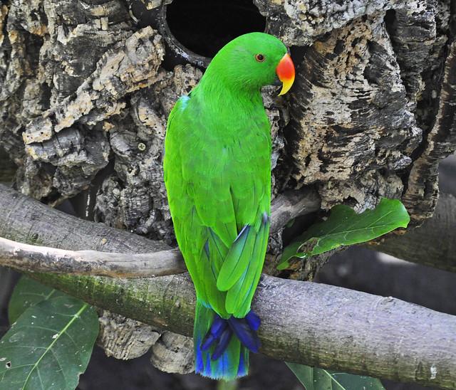 Eclectus Parrot (Eclectus roratus) male