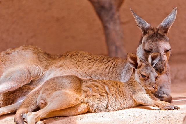 Cool Kangaroo Pictures