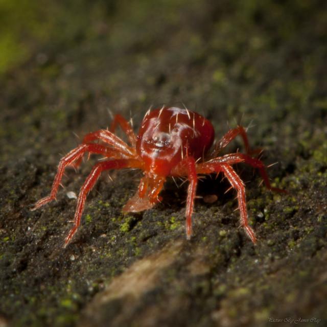 Red spider mites - photo#6