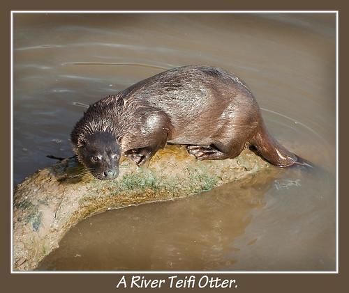 A River Teifi Otter..