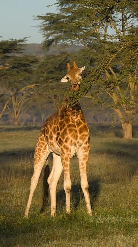 tiere kenya ken giraffe nakuru ort huftiere ereignis lakeviewestate kenyazanzibar2007