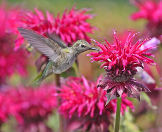 Anna's Hummingbird and Bee Balm