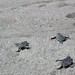 Velas Vallarta baby sea turtles