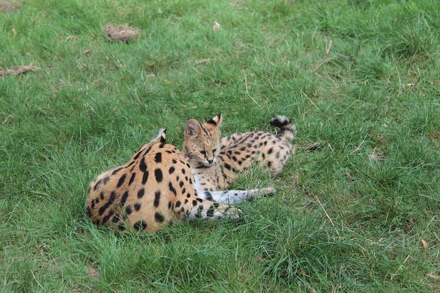 servals flickr photo sharing. Black Bedroom Furniture Sets. Home Design Ideas