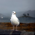 Plockton gull again