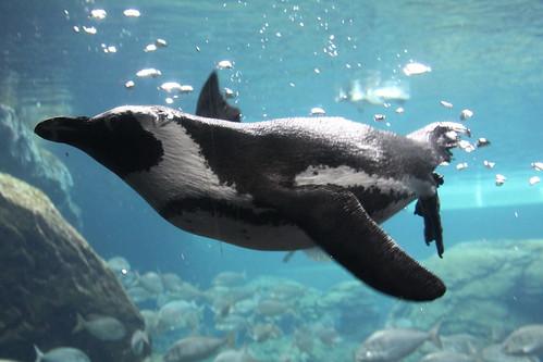 African Penguin Underwater by Scott Hanko