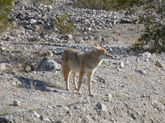 grey fox(0.0), saarloos wolfdog(0.0), kit fox(0.0), animal(1.0), canis lupus tundrarum(1.0), gray wolf(1.0), mammal(1.0), jackal(1.0), fauna(1.0), wolfdog(1.0), coyote(1.0), wildlife(1.0),