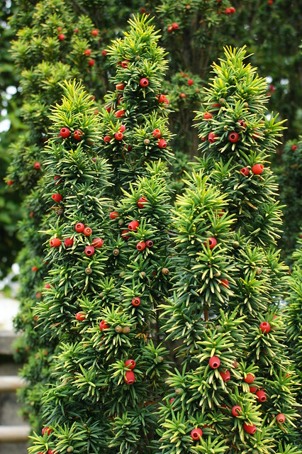taxus baccata 39 standishii 39 golden upright taxus flickr. Black Bedroom Furniture Sets. Home Design Ideas