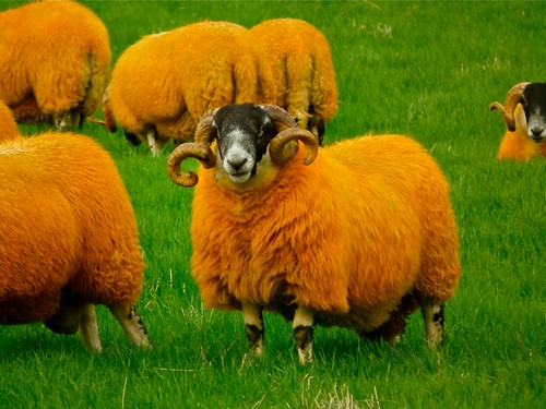 The Orange Sheep of Glen Quaich