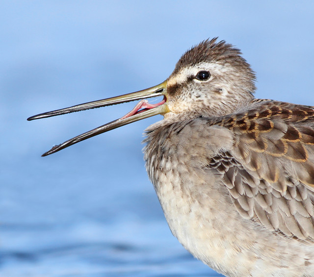 Kanaduðra / Long-billed Dowitcher / Limnodromus scolopaceus
