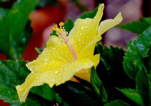 Hibiscus, spic and span after a  shower