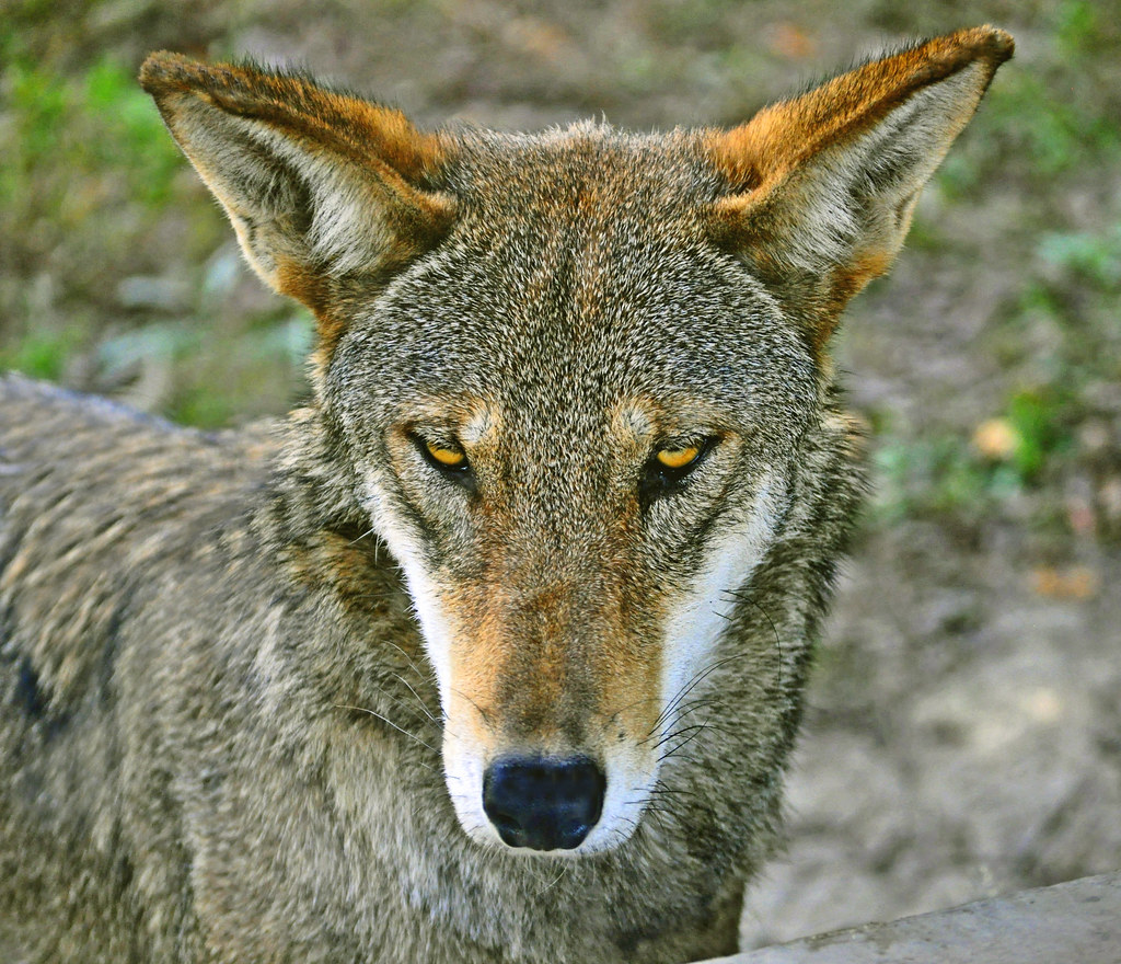 Red Wolf (Canis rufus) - Nearly extinct