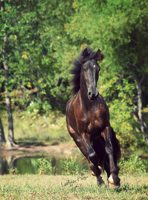 Clydesdale Friesian cross? | Page 2 | My Horse Forum