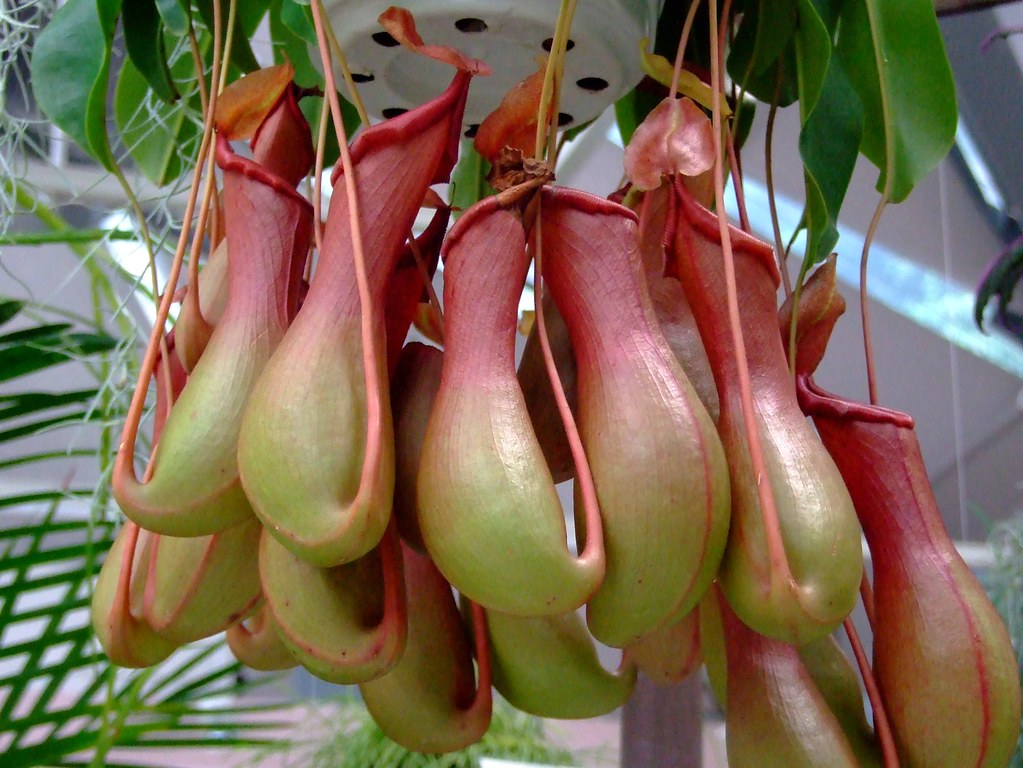 Nepenthaceae the pitcher plant nepenthes miranda for Plante carnivore