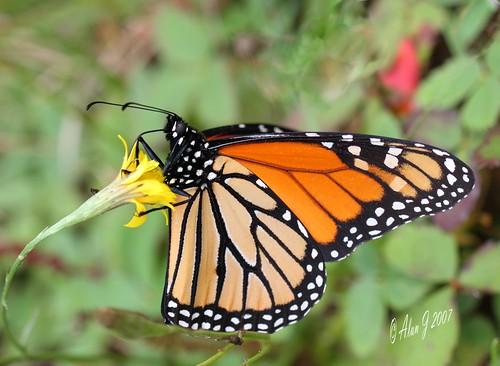 autumn ny newyork canon butterfly niceshot adirondacks 7d upstatenewyork uppersaranaclake mygearandme 100mmmacrof28lisusm