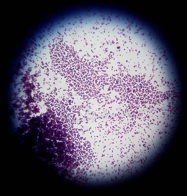 Header of gram stain