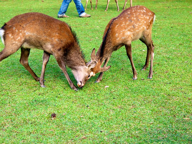 2 deers fighting