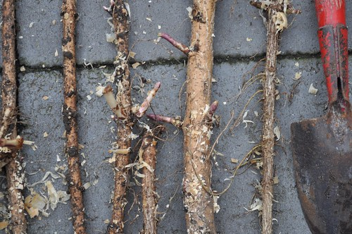 Hop Rhizomes, from flickr user grailbeard