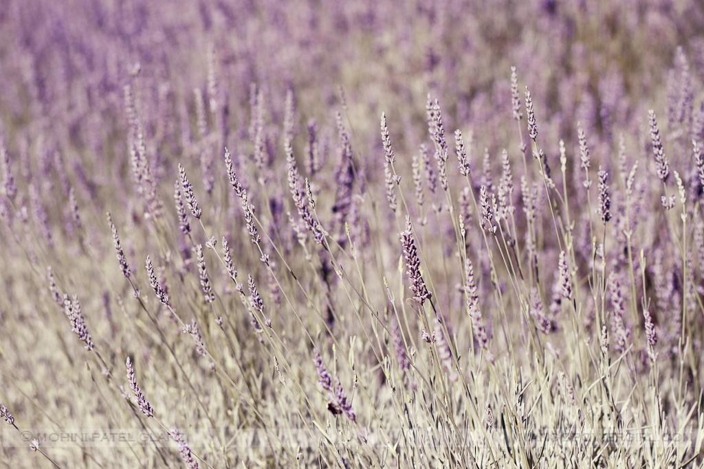 lavender hill farm 17