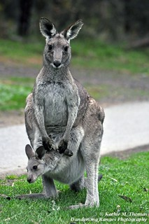 256-365 Mother kangaroo and Joey