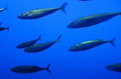 Mackerel? Young tuna? Not sardines or anchovies...
