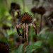 Purple Coneflower in Autumn