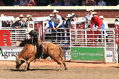 western riding(0.0), chilean rodeo(0.0), equestrian sport(0.0), charreada(0.0), fair(0.0), barrel racing(0.0), animal sports(1.0), rodeo(1.0), bull(1.0), event(1.0), tradition(1.0), sports(1.0), bullring(1.0), bull riding(1.0),
