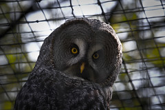 falcon(0.0), wildlife(0.0), animal(1.0), bird of prey(1.0), owl(1.0), fauna(1.0), close-up(1.0), beak(1.0), great grey owl(1.0), bird(1.0),