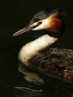 Portrait of a Grebe