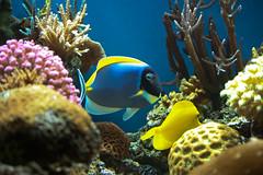 tropics(0.0), anemone fish(0.0), coral reef(1.0), coral(1.0), fish(1.0), coral reef fish(1.0), organism(1.0), marine biology(1.0), invertebrate(1.0), stony coral(1.0), natural environment(1.0), underwater(1.0), reef(1.0), pomacentridae(1.0), sea anemone(1.0), aquarium(1.0),