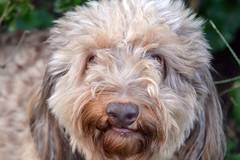 wirehaired pointing griffon(0.0), glen of imaal terrier(0.0), spinone italiano(0.0), bergamasco shepherd(0.0), irish soft-coated wheaten terrier(0.0), australian terrier(0.0), dog breed(1.0), animal(1.0), dog(1.0), schnoodle(1.0), petit basset griffon vendã©en(1.0), lagotto romagnolo(1.0), otterhound(1.0), poodle crossbreed(1.0), catalan sheepdog(1.0), sapsali(1.0), dandie dinmont terrier(1.0), goldendoodle(1.0), carnivoran(1.0),