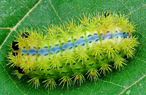 "Blue-striped Stinging Nettle Caterpillar (Parasa lepida, Limacodidae) ""Blue Stripe"""