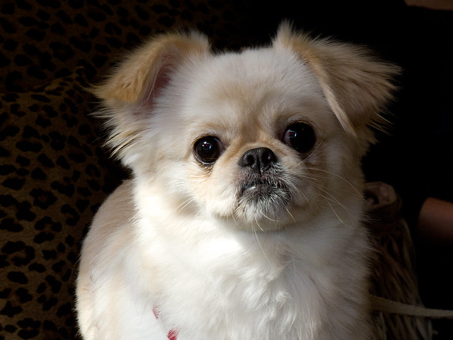 Pekingese & Chihuahua | Flickr - Photo Sharing!