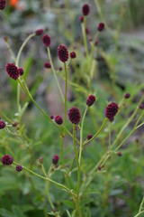 SANGUISORBA officinalis CDC 292