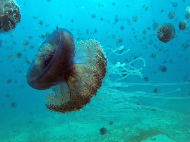 Medusas coliflor ( Cephea cephea ) en las aguas de Marsa Shouna. Egipto. Los arrecifes coralinos del Mar Rojo.