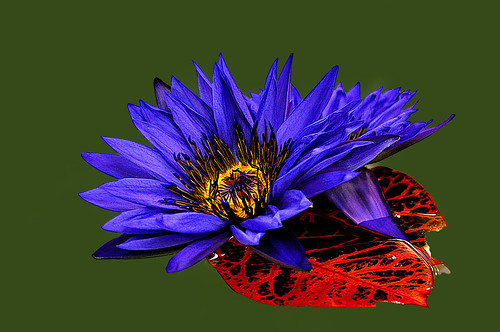 DSC_0007_Waterlily
