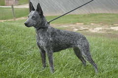 pumi(0.0), patterdale terrier(0.0), mudi(0.0), dog breed(1.0), animal(1.0), dog(1.0), australian stumpy tail cattle dog(1.0), dutch shepherd dog(1.0), pet(1.0), vulnerable native breeds(1.0), australian cattle dog(1.0), carnivoran(1.0), terrier(1.0),