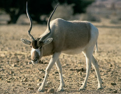 gemsbok(0.0), springbok(0.0), white-tailed deer(0.0), pronghorn(0.0), oryx(0.0), animal(1.0), antelope(1.0), deer(1.0), nature(1.0), horn(1.0), fauna(1.0), gazelle(1.0), wildlife(1.0),