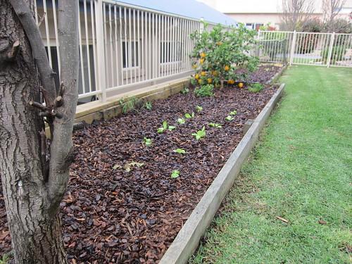 Veggie garden after