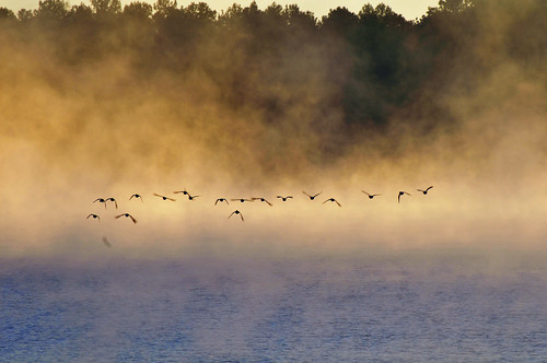 mist fog dawn foggy ducks reservoir waterfowl