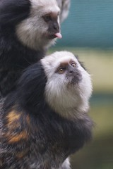 primate(0.0), marmoset(0.0), white-headed capuchin(0.0), macaque(0.0), animal(1.0), mammal(1.0), capuchin monkey(1.0), fauna(1.0), old world monkey(1.0), new world monkey(1.0), wildlife(1.0),