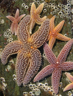 Meeting of the seastars
