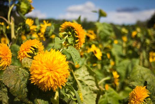flowers 35mm ma prime bokeh massachusetts newengland olympus applepicking manual om flowersplants tyngsboro gzuiko parleefarm gzuikoautow35mmf28