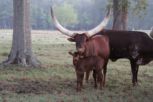 ranch cattle farm calf watusi ankole