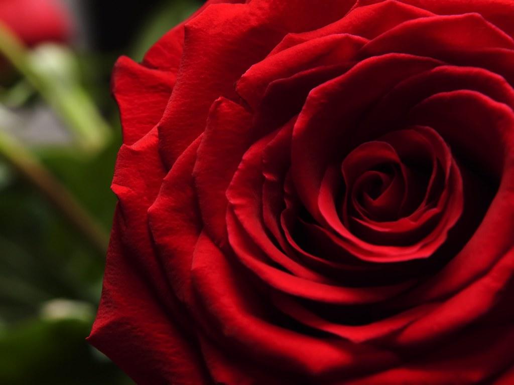 Single Red Rose Close Up Www Wilsonhui Com Wilson Hui Flickr