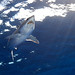 Shortfin Mako Shark - Azores by James R.D. Scott