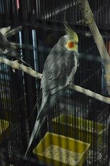cockatoo, animal, wing, pet, fauna, cockatiel, beak, bird,