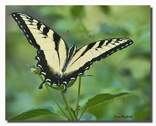 Tiger swallowtail at Mizell Farms....