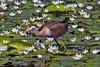 Hathikhira Birds-178 - Metopidius indicus by Vijay Anand Ismavel